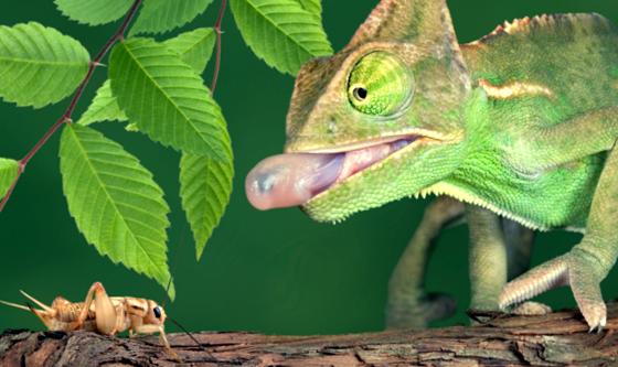 Descubra o segredo da língua do camaleão