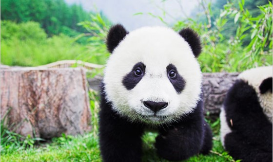 giant-panda-bear-pictures0